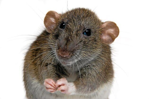 Skadedjur - råttor