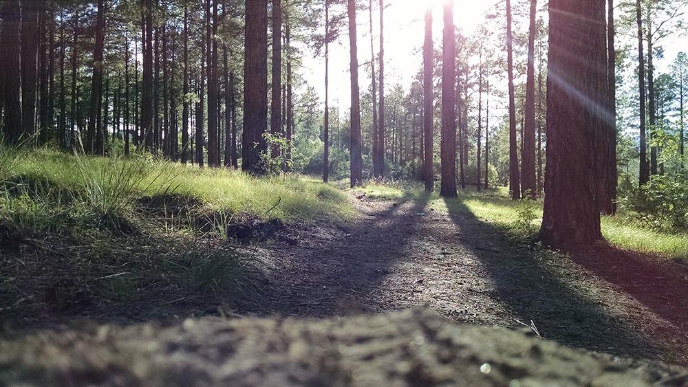 Motionsspår i skogen med motljus mellan träden.